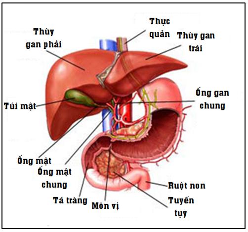 cấu trúc gan
