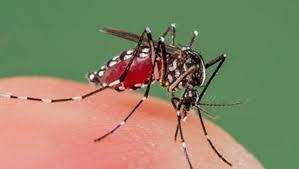 muỗi nhiễm virut dengue