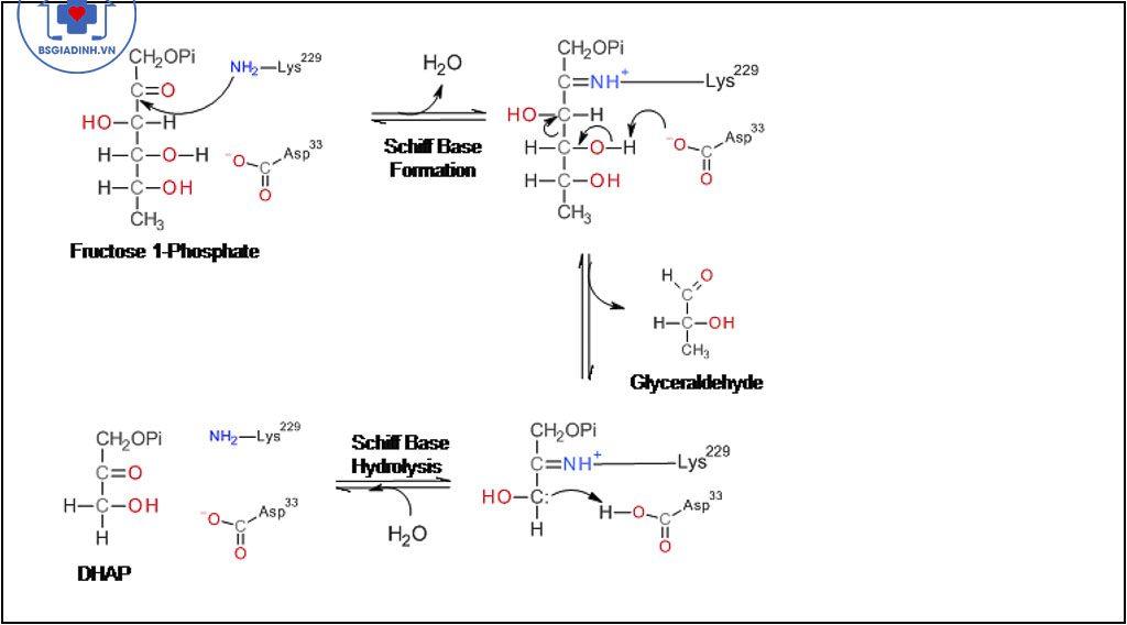 cấu trúc hóa học ALDOLASE