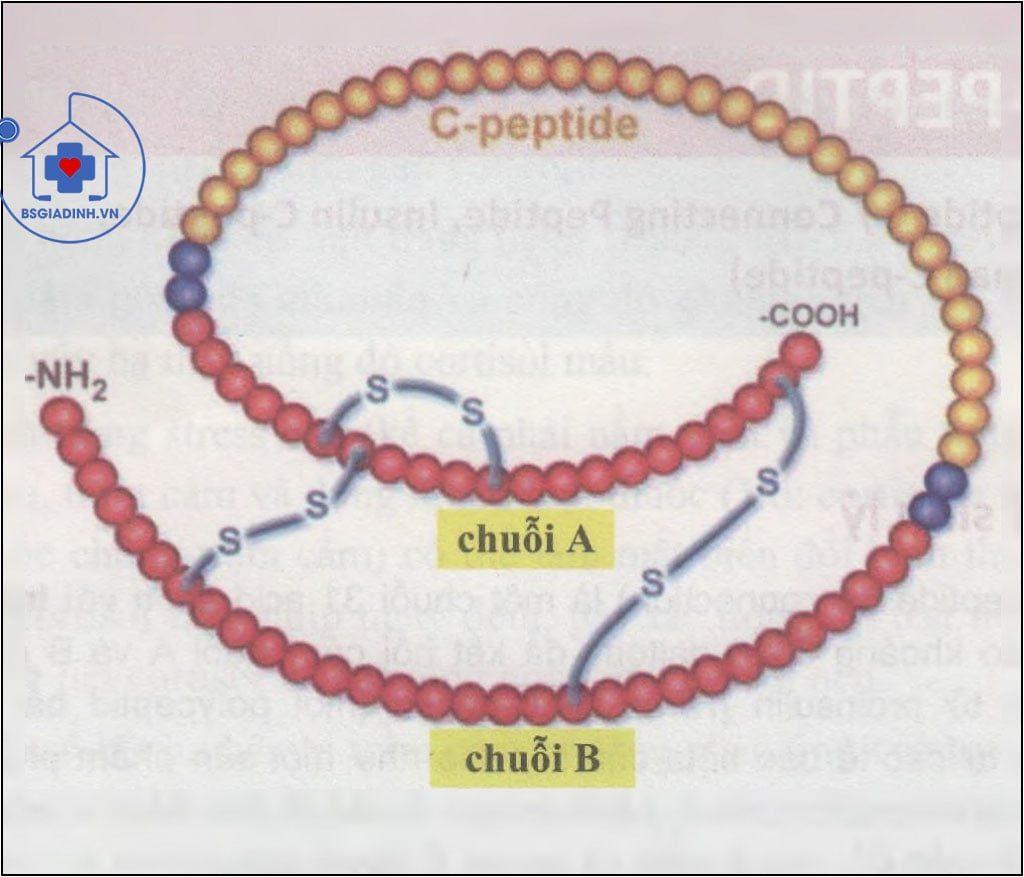Pro-insulin và C-peptid