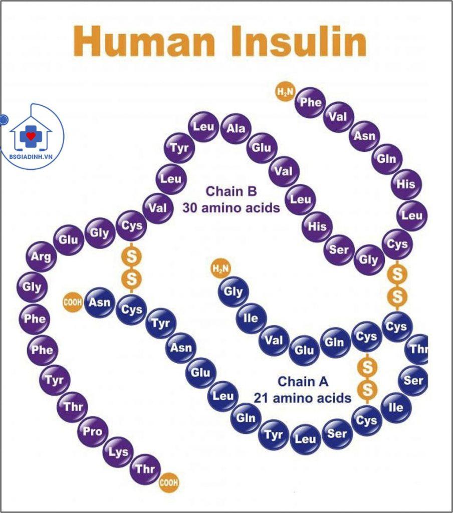 cấu trúc insulin