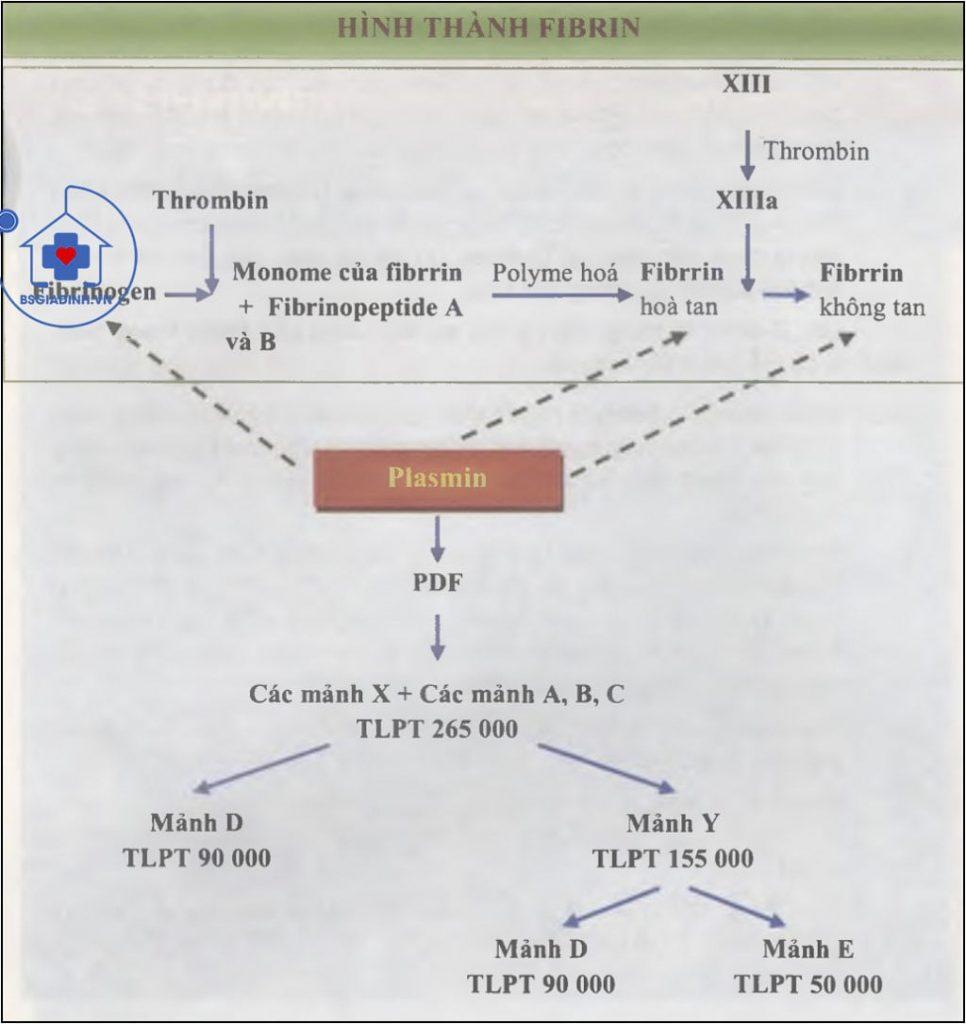 quá trình hình thành và tiêu fibrin