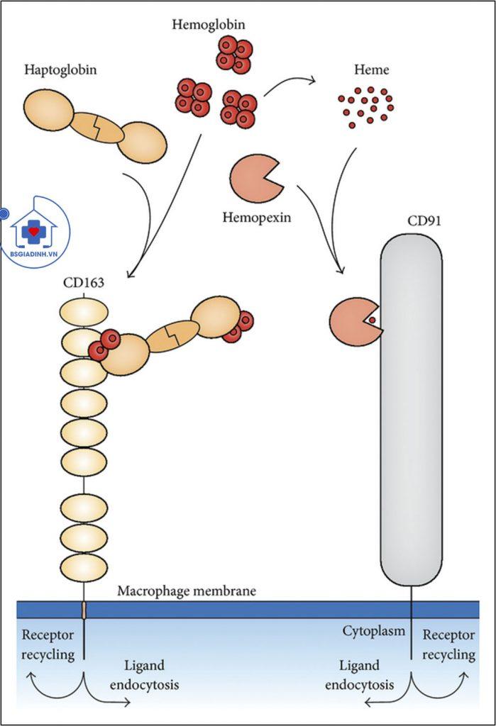 xét nghiệm haptoglobin