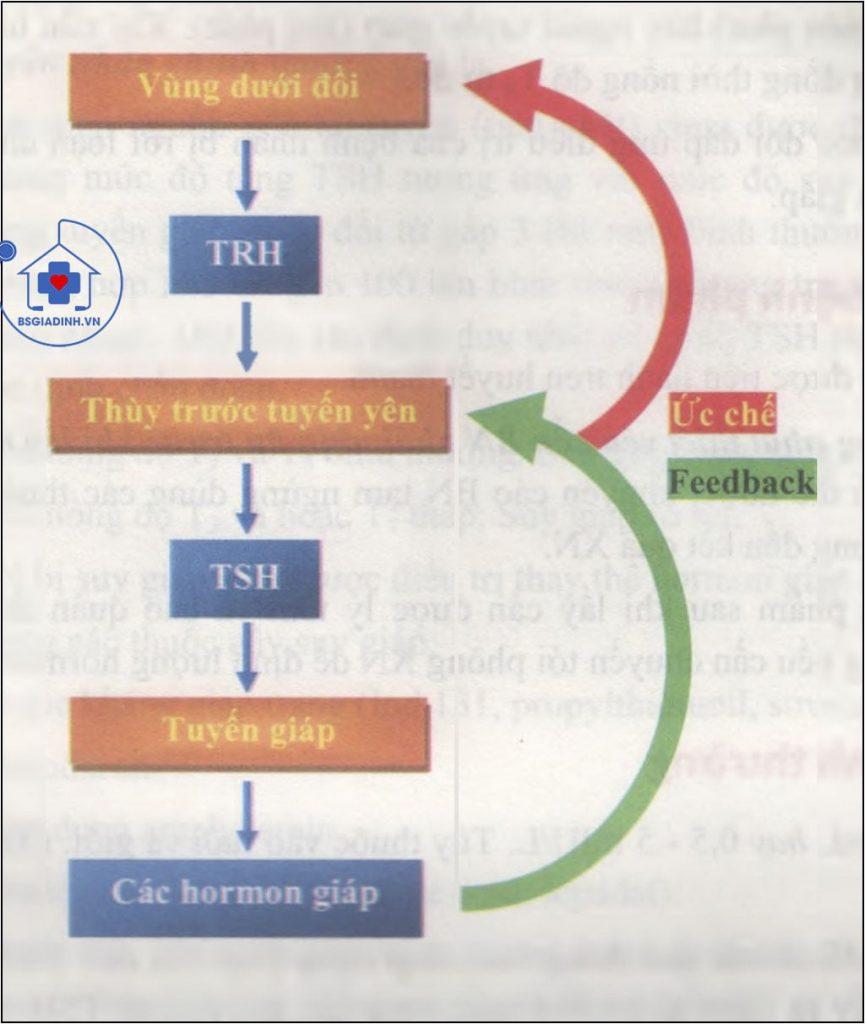 Cơ chế điều hòa ngược sản xuất Hormon giáp