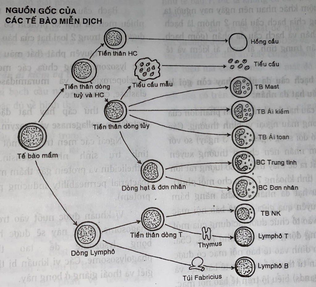 Nguồn gốc của các tế bào miễn dịch
