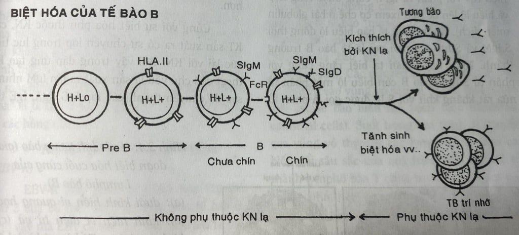 Sự biệt hóa của lymphô B